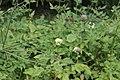 Cephalaria gigantea GiardinoBotanicoAlpinoViote 20170902 B.jpg