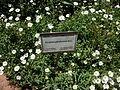 Cerasti de Gibraltar (Cerastium gibraltaricum), jardí botànic de València.JPG