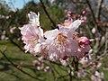 Cerejeiras Parque do Carmo 05.jpg