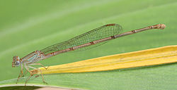 豆娘的一種,學名Ceriagrion glabrum,拍攝於坦尚尼亞三蘭港。