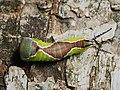 Cerura vinula (larva) - Puss moth (caterpillar) - Большая гарпия (гусеница) (29116714378).jpg