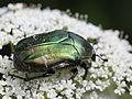 Cetonia aurata (Scarabaeidae) from Slovakia (7614247776).jpg