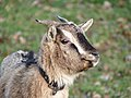 Chèvre naine - Sérent 7.jpg