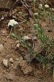 Chaenactis fremontii 7727.JPG