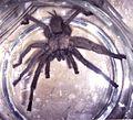 Chaetopelma gracile in a jar02.jpg
