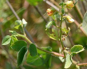 Caesalpinioideae - Chamaecrista absus