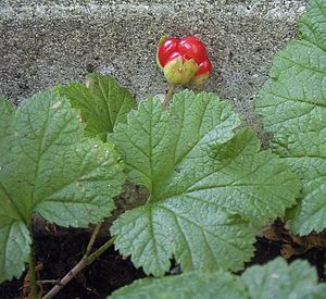 Rubus chamaemorus - Unripe cloudberry