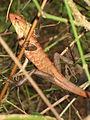 Chameleon - ഓന്ത് (13).JPG