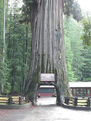 Photo of the tree. Tree has a tunnel through the center of the trunk.