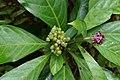 Chassalia curviflora 00930.JPG