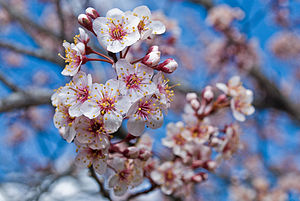 Closeup of blooming cherry blossoms
