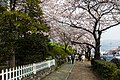 Cherry Blossom in Jinhae-2016-04-02-1.jpg