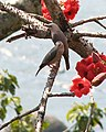 Chestnut-tailed Starling - Flickr - sjoe.jpg