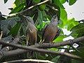 Chestnut-tailed starling 12.jpg