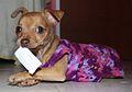Chihuahua perrita.jpg