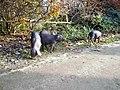 Chinesisches Maskenschwein Görlitz -Tierpark (2).jpg