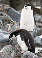 Chinstrap Penguins Half Moon Island Antarctica (46421797415).jpg