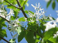 Chionanthus retusus flower