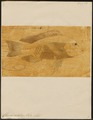 Chromis niloticus - 1774-1804 - Print - Iconographia Zoologica - Special Collections University of Amsterdam - UBA01 IZ14000060.tif