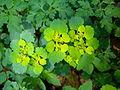 Chrysosplenium alternifolium plant.JPG