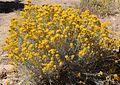 Chrysothamnus nauseosus bush.jpg