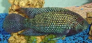 Cichlasomatinae - Rocio octofasciata