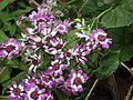 Cineraria from Lalbagh flower show Aug 2013 8225.JPG