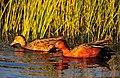 Cinnamon Teal on Seedskadee National Wildlife Refuge (27056407665).jpg
