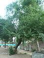 Cirerer de santa Llúcia del parc de l'Oreneta P1510573.jpg