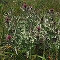 Cirsium douglasii (4695009378).jpg