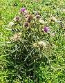 Cirsium eriophorum in PNR Pyrenees ariegeoises 02.jpg