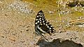 Citrus swallowtail (Papilio demodocus) (6032921058).jpg