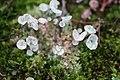 Cladonia fimbriata 106675710.jpg