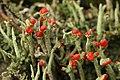 Cladonia sp. (38583410884).jpg