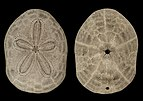 Clypeaster reticulatus both sides.jpg