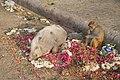 Cochon et singe, Jaipur, Rajasthan, Inde.jpg