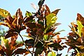 Codiaeum variegatum Stewartii 0zz.jpg