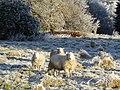 Cold sheep - geograph.org.uk - 648563.jpg