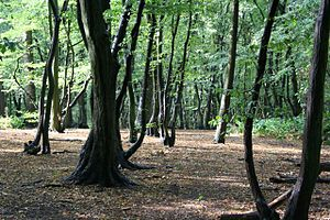 Coldfall Wood - Hornbeam understorey