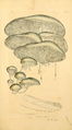 Coloured Figures of English Fungi or Mushrooms - t. 241.png