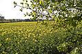 Colza (Yvelines) Cl J Weber09 (23379419080).jpg