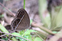 Common Bushbrown (Dingy Bushbrown ) - Mycalesis perseus.JPG