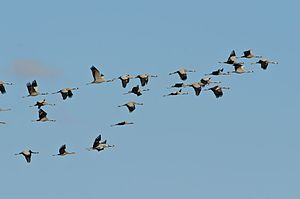 Common crane - Flock of common cranes (Grus grus) flying over Castilla, Spain, during their winter migration