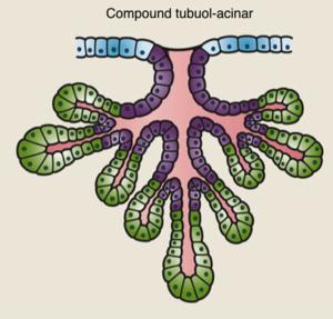 Alveolar gland - Image: Compound Tubulo Acinar Gland