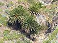 Conjunto de palmeras, Valle del Masca, Tenerife, España, 2015.JPG