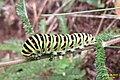 Continental swallowtail (NH) (37955071472).jpg