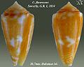 Conus flavescens 2.jpg