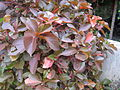Copper Leaf Plant - പൂച്ചവാൽ 02.JPG