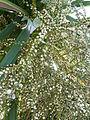 Cordyline australis 'Cabbage tree' (Agavaceae).JPG