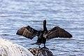 Cormorant (42077000360).jpg